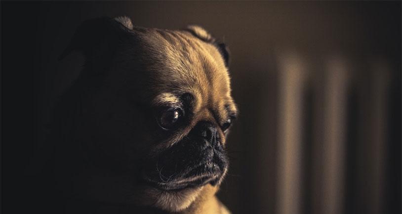 Dog Testicle Study