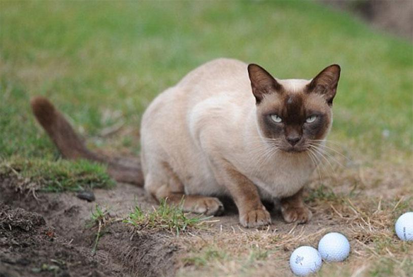 Golf Balls Cat Merlin