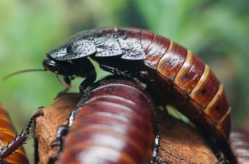 Madigasgar hissing cock roaches
