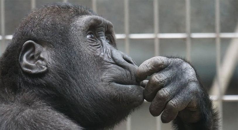 Ape Human Penises