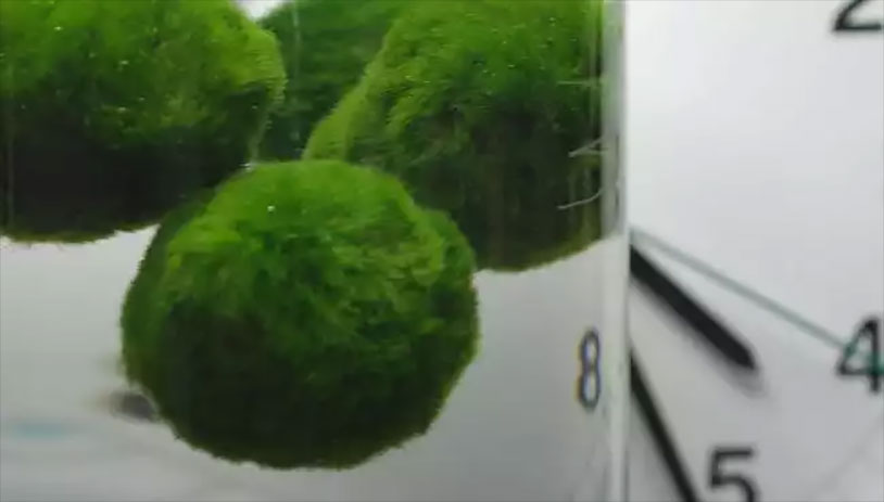 Algae Balls