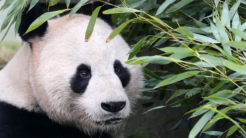 Giant Panda Recovering From Testicle Surgery
