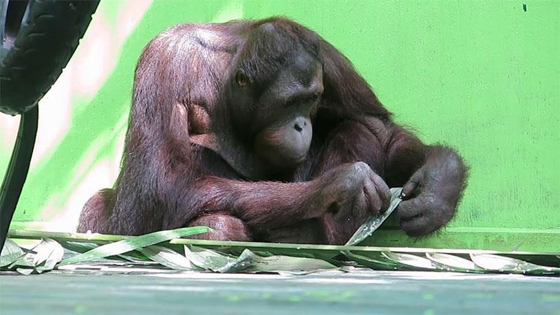 Rescued Orangutan Gets Testicular Tumor Removed