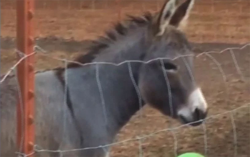 This Donkey Playing With A Ball Will Cheer You Up