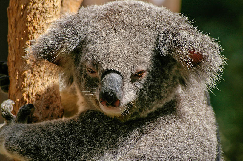 This Island Is Full Of Koala Bears With One Ball