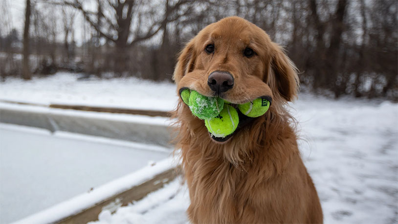 Dog Sets New World Record For Tennis Balls In Mouth