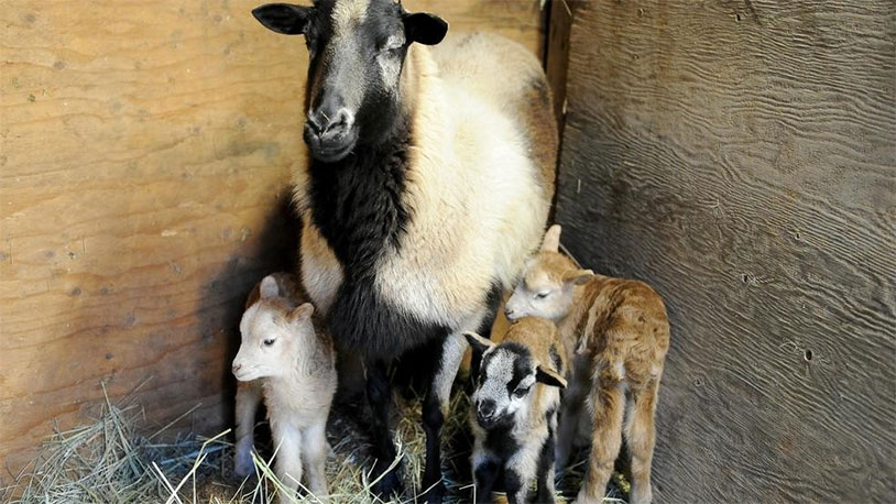 Castration Mix-Up Leads To 21 New Baby Sheep For Unsuspecting Farm