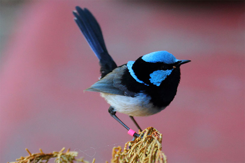 The Fairywren Has The Largest Testicle To Body Size Ratio Of Any Animal