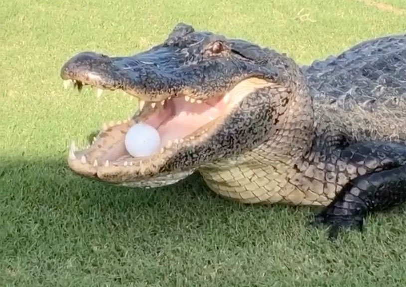Alligator Steals Golf Ball In Middle Of Game