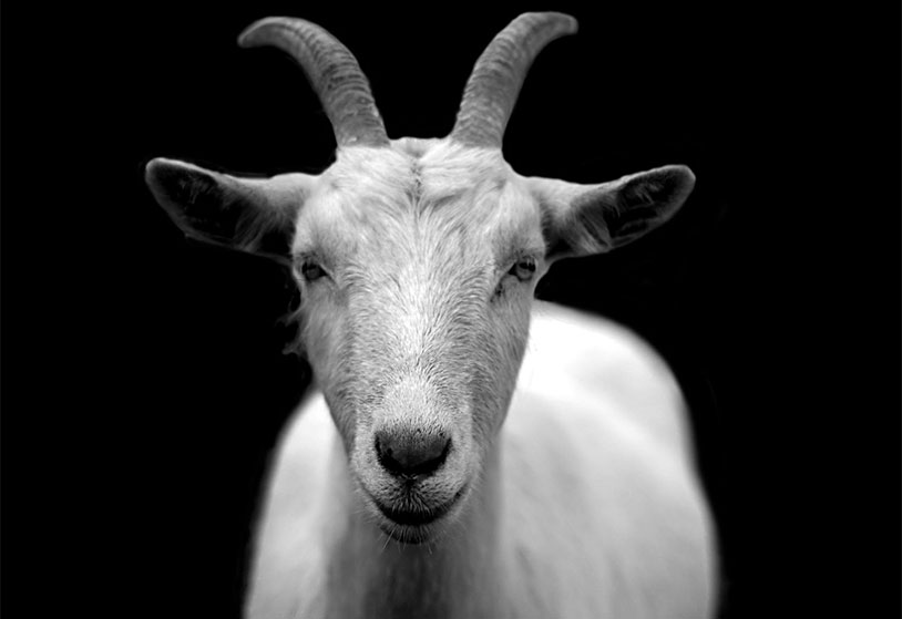 Cloning Goat Testicles Lets Them Father Even More Kids